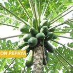 Manfaat Pohon Pepaya | Kabarsehat.com